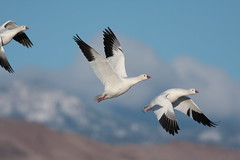 (soulvision) Tags: newmexico bosquedelapache snowgeese