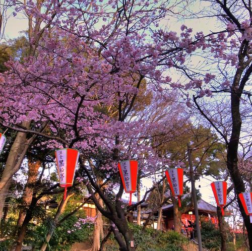 CherryBlossom in Ueno