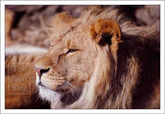 The Lion King (Michele Cannone) Tags: animal king lion jungle badge re leone animale giungla flickrbigcats