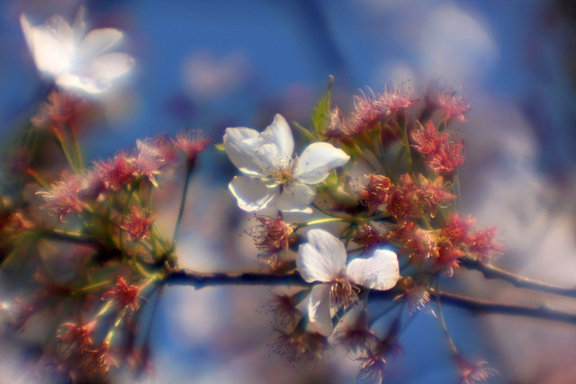 cherry tree, soft focus