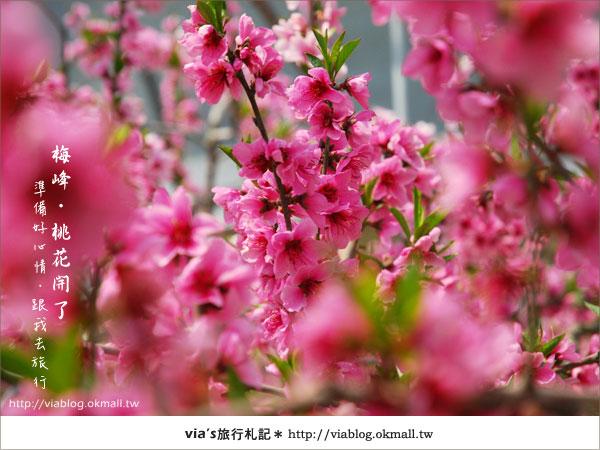 【梅峰農場桃花緣】最美的桃花隧道,就在南投梅峰這裡~(上)30