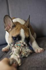 meu... (Gustavo Bresolin) Tags: brazil portrait dog co animal brasil canon rebel 50mm brinquedo hana cachorro frenchbulldog f18 bicho sof xsi lightroom estimao cadela speedlite bulldogfrancs 450d 430exii gustavobresolin