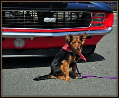 Fiona the guard dog (stevem19) Tags: chevrolet pups camaro mutts 69camaro sscamaro