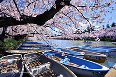 Sakura Boats (Hirosaki Japan).  Glenn Waters.. Over  4,000 visits to this photo.   Thank you. (Glenn Waters in Japan.) Tags: trees castle beautiful japan reflections japanese boat spring nikon ex