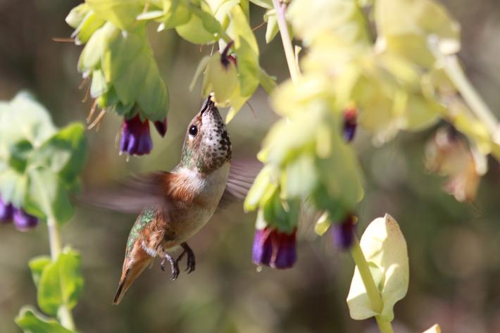 032910_hummingbirdFly