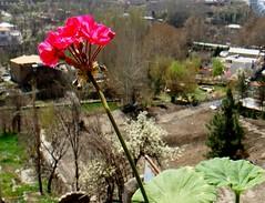 Torghabeh ... طرقبه (Ebrahim Baraz) Tags: بهار khorasan گل مشهد mashad germanium torghabeh طرقبه baraz شمعداني براز ebrahimbaraz ابراهيمبراز