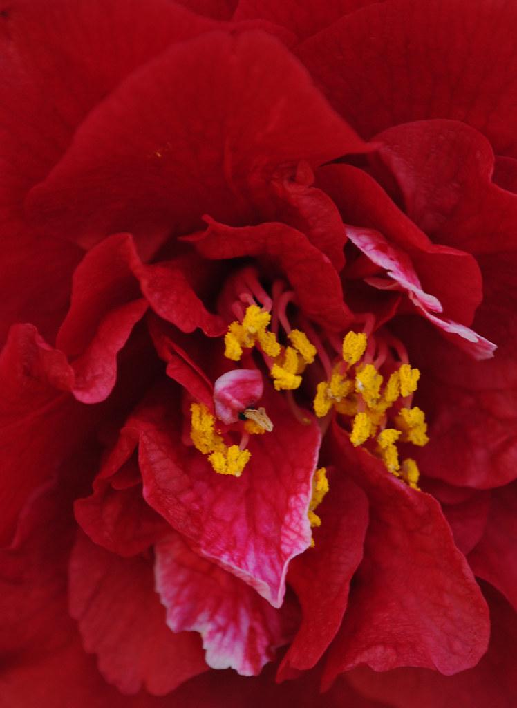 Camellia japonica 'Cherries Jubilee'