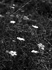 Delicadas (rubioz) Tags: blackandwhite flower blancoynegro md raw minolta 28mm flor olympus processing 28 manualfocus blooming lightroom e510 rokkor uro floreciendo