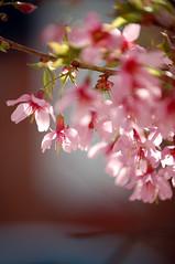Sakura No. 2 (James Mundie) Tags: flowers cherry botanical spring flora blossom cherryblossom sakura vernal boken jamesmundie jamesgmundie profjasmundie jimmundie