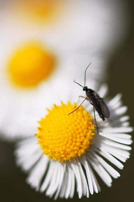 web_bugthreedaisies_wildflowers_0242_2611