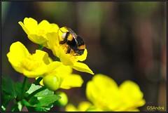 Bumblebee-border (GSAndr) Tags: flowers white flower holland color netherlands colors yellow spring woodpecker purple bumblebee te snowdrop narcissus keukenhof boekhorst gsandr