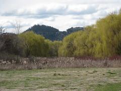 Wetland and Mountain (jamica1) Tags: mountain canada clouds reeds bc okanagan columbia british kelowna willows wetland chichester salix babylonica