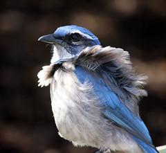My feathers are a bit ruffled! (K. Menzel Photography ( on and off)) Tags: blue bird ggpark scrubjay ruffled menzel dapagroupmeritaward3