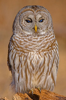 Barred_Owl_044