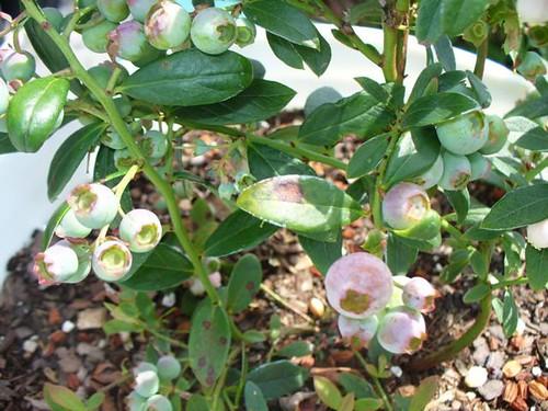 Ecuador berries