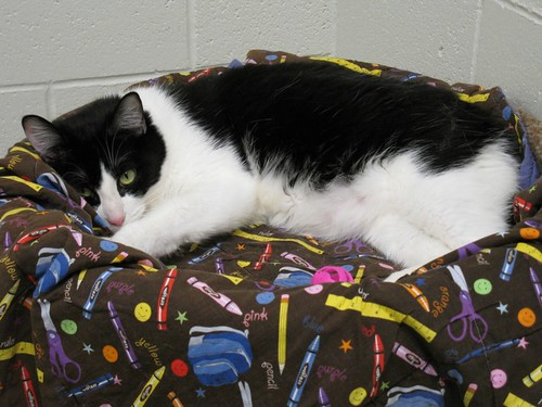 Theo, a Male Tuxedo Cat has been at Heartland Humane Society a Long Time ~ Still Needs a Forever Home