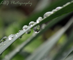 After the Rain V (Hammonton Photography) Tags: plants macro reflection nature water beauty rain project outside outdoors photography drops spring pix photos bokeh pics outdoor lj picture pic drop photograph april 365 hammonton project365