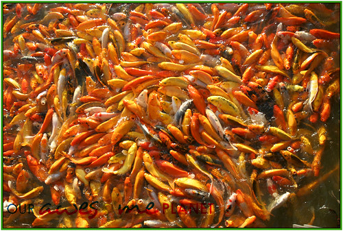 Fish Feeding and Boating in Nuvali-9
