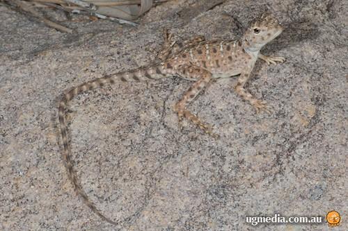 Ring-tailed dragon (Ctenophorus caudicinctus)
