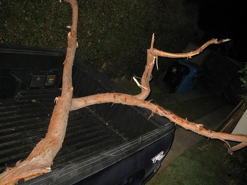Eucalyptus limb