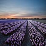 Evening glory (hyacinth fields Netherlands)