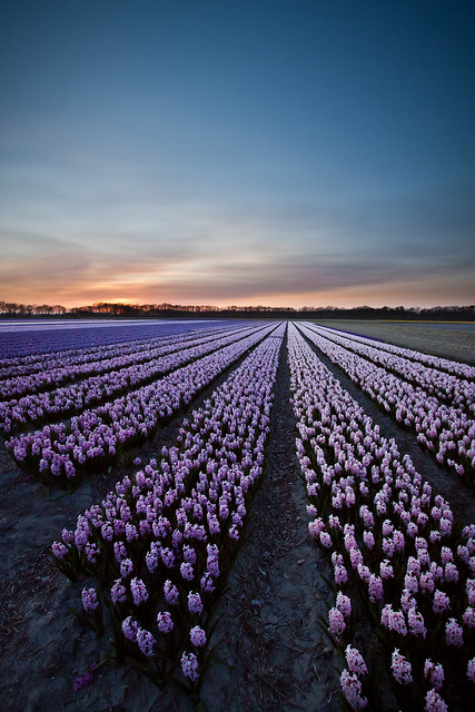 Evening glory (hyacinth fields Netherlands)