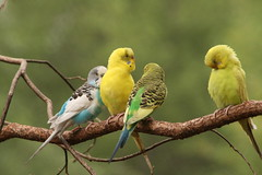 "Parakeet_ four on a branch • <a style=""font-size:0.8em;"" href=""http://www.flickr.com/photos/30765416@N06/4528609971/"" target=""_blank"">View on Flickr</a>"