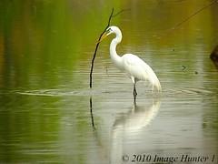 Walk Tall And Carry.... (Image Hunter 1) Tags: reflection nature birds louisiana bayou swamp gathering marsh egret greategret wading nestbuilding birdslouisiana panasonicfz35 raynox2025hd22x