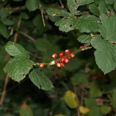 berries_0