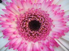 GERBERA (Afloralies) Tags: france flower macro nature fleur gerbera thegalleryofflowerseffe afloralies