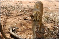 Teenage Males (zenseas) Tags: southafrica lion pride lions johannesburg lionpark pantheraleo