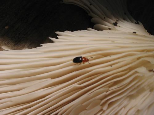 Oyster mushroom, pleurotus ostreus, with fungus beetle, triplax thoracica