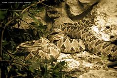 Un Par de Cascabeles (Fernando Ramos Farrera) Tags: snake culebra serpent viper reptil serpiente cascabel vivora crotalo viperido