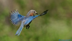Eastern Bluebird ( f ) (mattlev12) Tags: greatphotographers