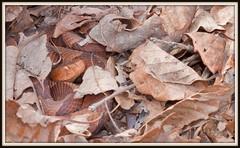 Northern Copperhead (Lotterhand) Tags: viper snakes venomous copperhead