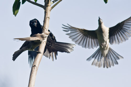 Spangle Drongo & Little Friarbirds