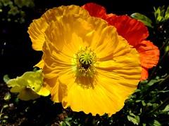 Sunshine flowers (Coanri/Rita) Tags: orange yellow spring poppies lente geel oranje papvers