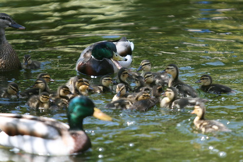 Ducky Kindergarten?