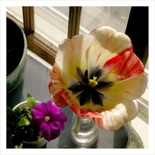 tulip in the window