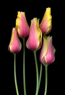 28698 Tulipa 'Blushing Lady'