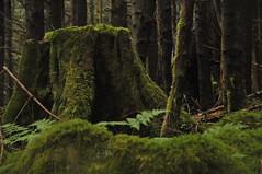 Rainforest stump (Leah Ballin) Tags: tree rainforest cut timber britishcolumbia logging stump centralcoast deforestation greatbearrainforest secondgrowth