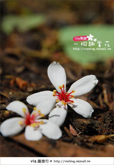 【苗栗油桐花季】苗栗頭屋~夢幻桐花步道10