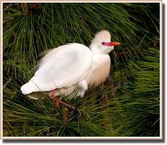 Another Cattle Egret (billkominsky ) Tags: bird nature birds wildlife breeding wetlands nesting supershot cattleegrets abigfave wakohatchee flickrglobal ilovehorsesandallgodscreatures