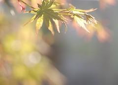 (*suika *) Tags: spring bokeh momiji japanesemaple mygarden hikey tamron90mm pleasenogroupinvitations
