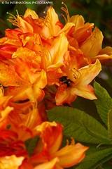 Mr. Bumble (TIA International Photography) Tags: flowers red orange plants flower green leaves yellow tia washington leaf petal bee olympia bloom april bouquet pollen tosinarasi tiascapes tiainternationalphotography