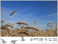 2010-小麥成熟-01