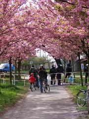 Unterbrochene Frühlingsspazierfahrt (loktonium) Tags: uniform mauer erstermai gesperrt fahrradtour polizisten absperrgitter mauerstreifen bornholmer nazifrei zierkirschen kampfmontur