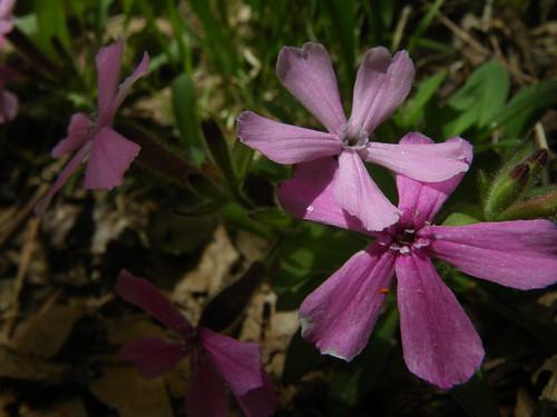 Silene caroliniana (Carolina pink)