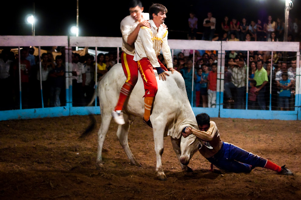 """Los hermanos """"Ledesma"""" luchan contra la bravura del joven toro, los tres toreros utilizan la fuerza y su peso para someter y vencer al ejemplar. Una vez el toro dobla las rodillas significa que se ha rendido y los toreros han triunfado. Paraguay es uno de los países que no dan muerte al toro en los espectáculos taurinos, sin embargo el rendimiento y cansancio del toro se asume como victoria. (15 de Agosto, Paraguay - Elton Núñez)"""