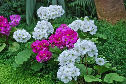 Géraniums roses et blanches (Serres Royales-Brussels)